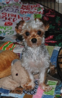Madison : Yorkie puppies for adoption in sc