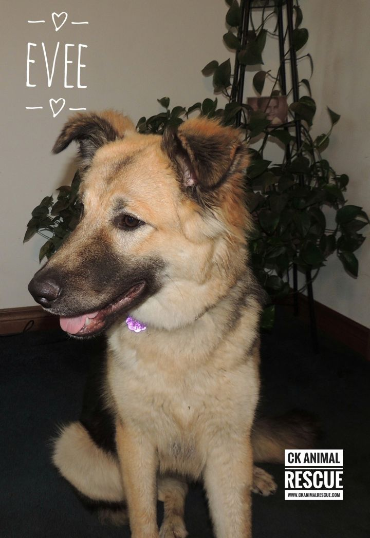 Evee, an adoptable German Shepherd Dog Mix in Chatham, ON