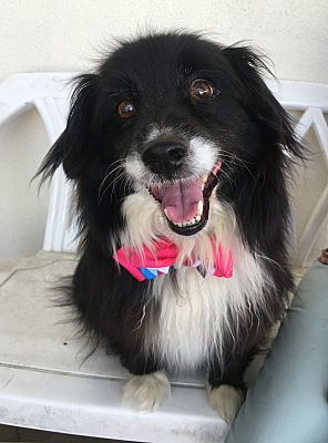 Dog For Adoption Chico A Border Collie Pomeranian Mix In Canoga