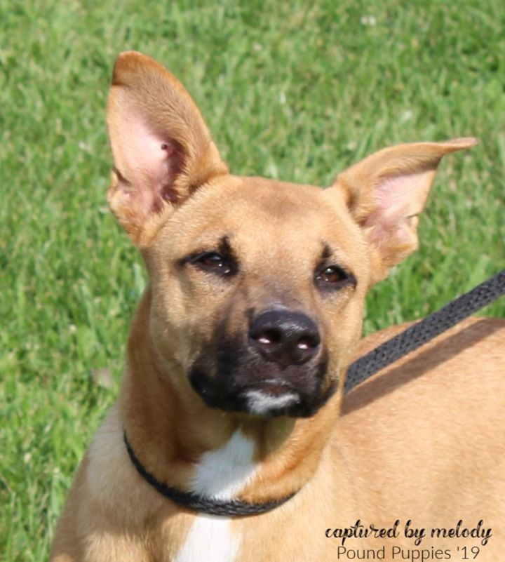 Willow, an adoptable German Shepherd Dog Mix in Cynthiana, KY