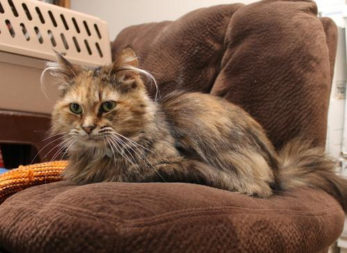 Peppermint, an adoptable Tortoiseshell & Domestic Medium Hair Mix in Springfield, OR