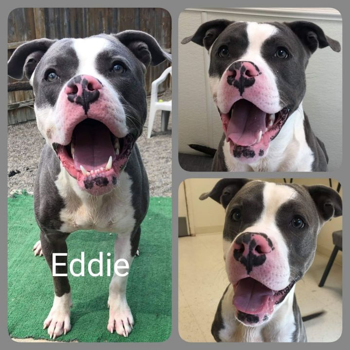 Dog for adoption - Eddie, a Pit Bull Terrier Mix in Binghamton, NY