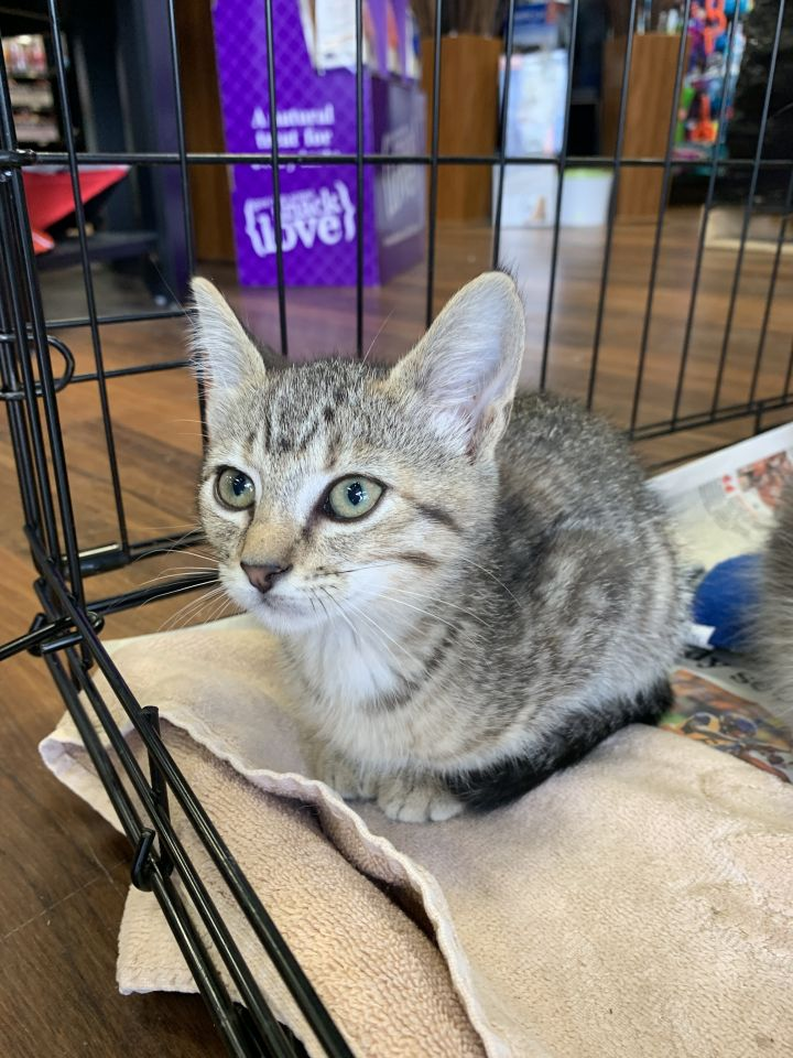 Mona, an adoptable Domestic Short Hair in Troy, VA