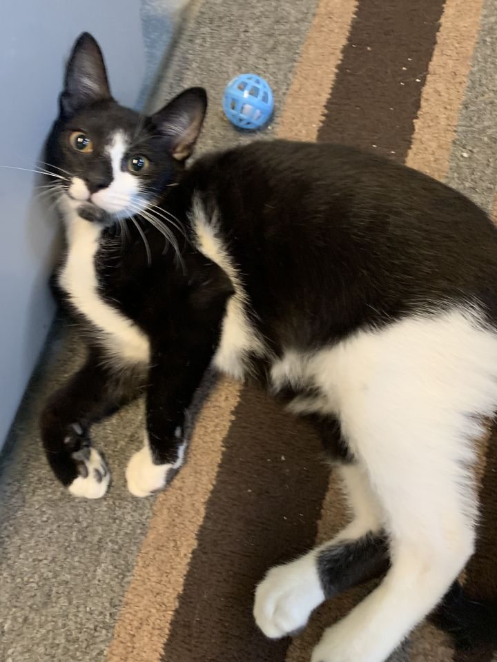 Jupiter, an adopted Domestic Short Hair & Tuxedo Mix in Mendham, NJ