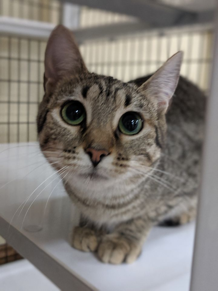 Ellie, an adoptable Bengal Mix in Decatur, IL