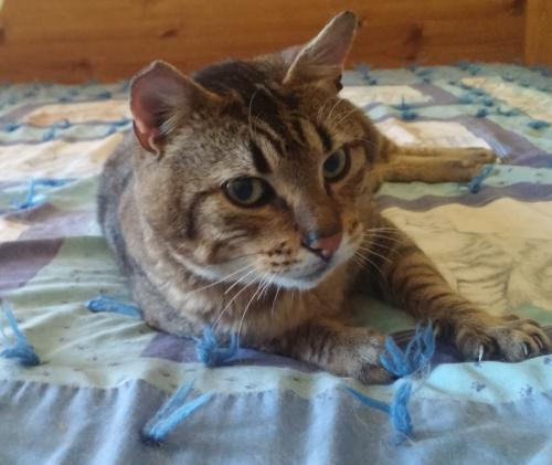 Mugsy, an adoptable Tabby & Domestic Short Hair Mix in Springfield, OR
