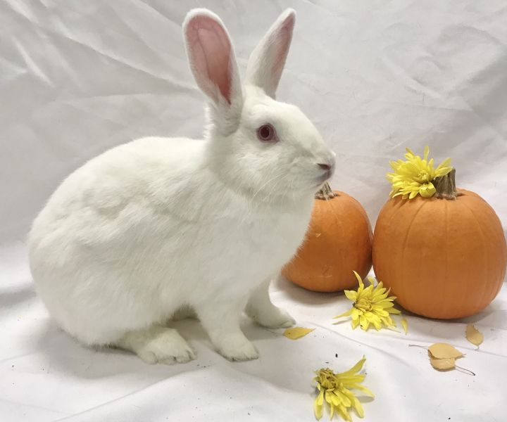 Pansy, an adoptable Satin in Livermore, CA