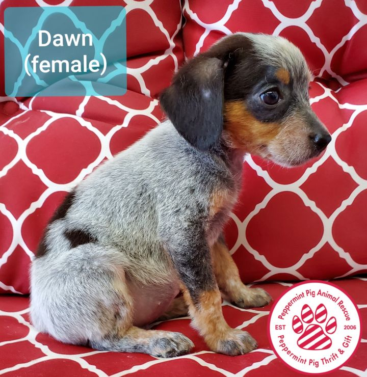 Dawn ADOPTION PENDING 3