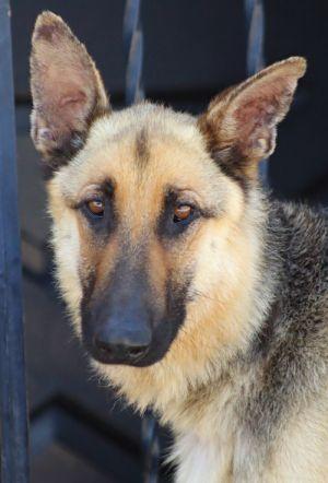 Dog For Adoption Gordon Von Groditz A German Shepherd Dog In Los