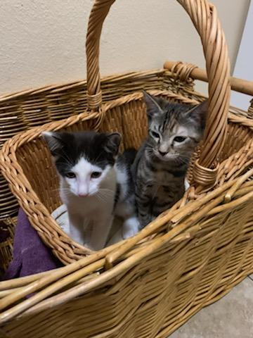 Kiwi and Honeydew, an adoptable Domestic Short Hair Mix in Mission Viejo, CA