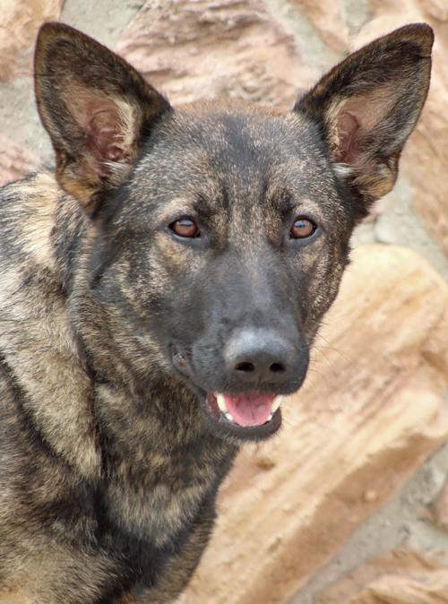 Dog For Adoption Freya Von Fritzlar A German Shepherd Dog Mix In
