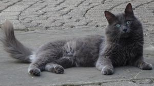 Shadow - Russian Blue mix - visually impaired