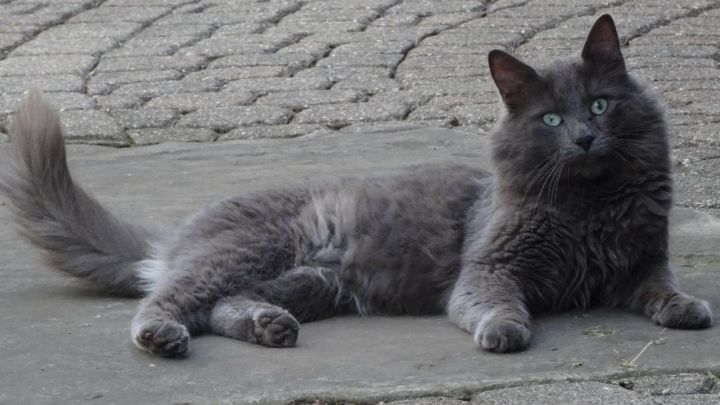 Shadow - Russian Blue mix - visually impaired 1