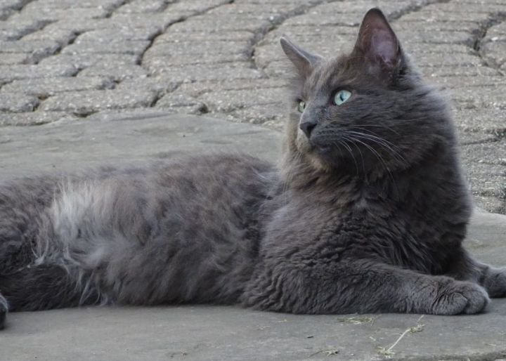 Shadow - Russian Blue mix - visually impaired 2
