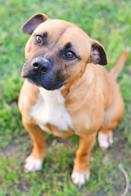 Dog for adoption - Jay, a Boxer & Chesapeake Bay Retriever Mix in