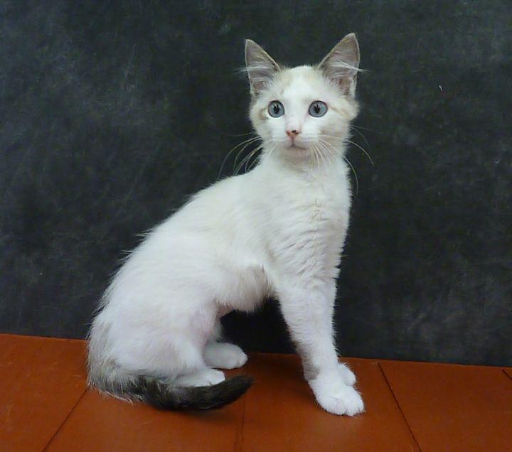 Blinkie - Fluffy Siamese Baby! 4