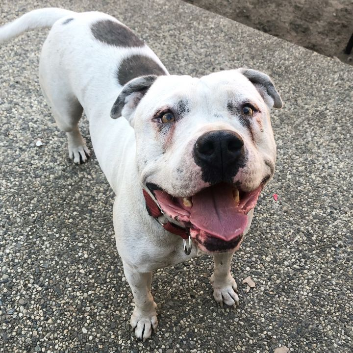Comet, an adoptable American Staffordshire Terrier Mix in Vallejo , CA