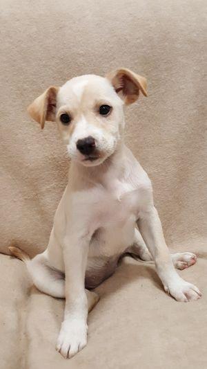 Dog for adoption - Demi, a Labrador Retriever Mix in Chicago, IL