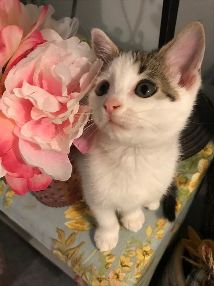 Chelsie, an adopted Domestic Medium Hair in Somers, CT