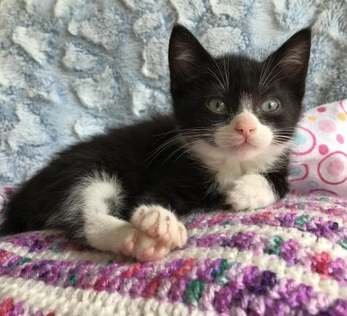 Sheldon, an adopted Tuxedo & Domestic Short Hair Mix in Liverpool, NY