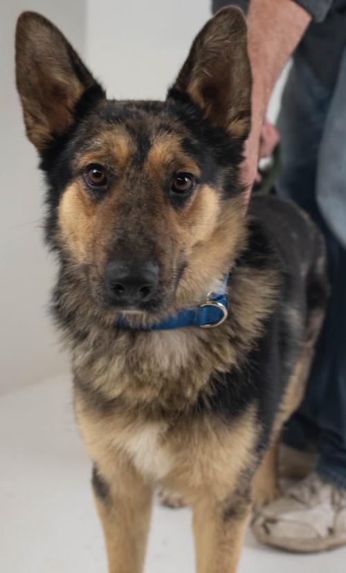 Dog For Adoption Brenton A German Shepherd Dog Australian