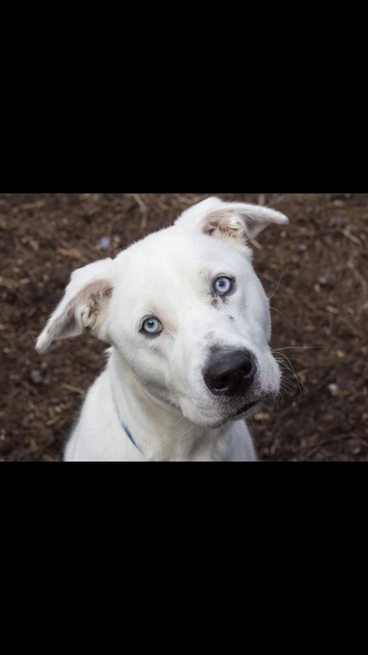 Duke, an adoptable Husky Mix in Spencer, IN