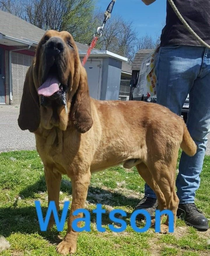 Watson adoption pending, an adoptable Bloodhound in Pittsburgh, PA