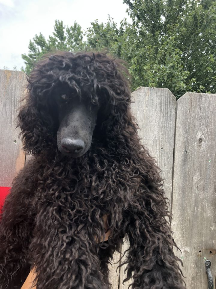 Guy, an adopted Poodle in Houston, TX
