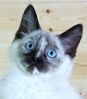 Cat for adoption - Lizzie, a Ragdoll Mix in Converse, TX | Petfinder