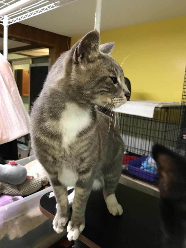 Peanut, an adoptable Domestic Short Hair in Oakland Park, FL