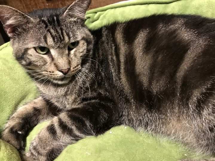 Titan, an adoptable Domestic Short Hair in Pompano Beach, FL
