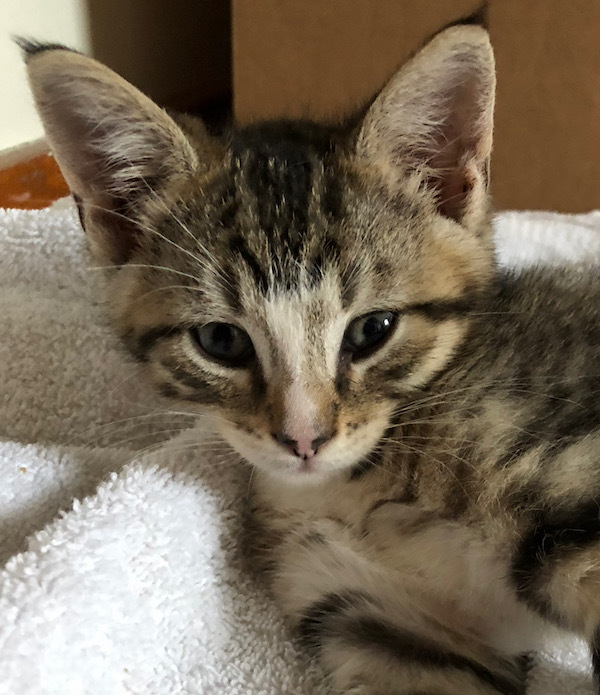 Kittens Lincoln Ne: Sam, A Domestic Short Hair Mix In
