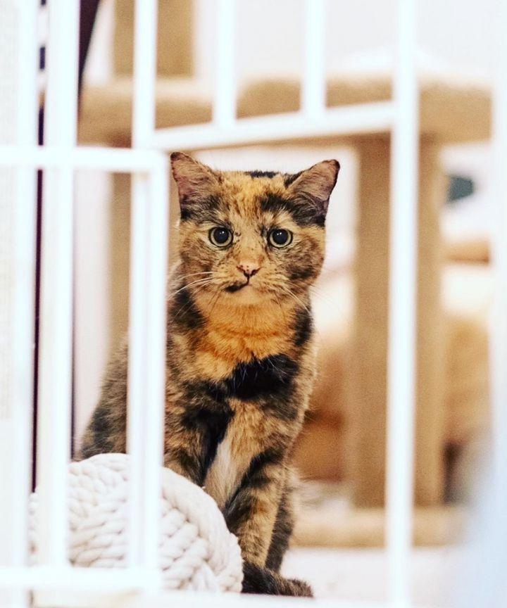 best website dc068 20f05 Cat for adoption - Raina Warrior Princess, a Domestic Short ...