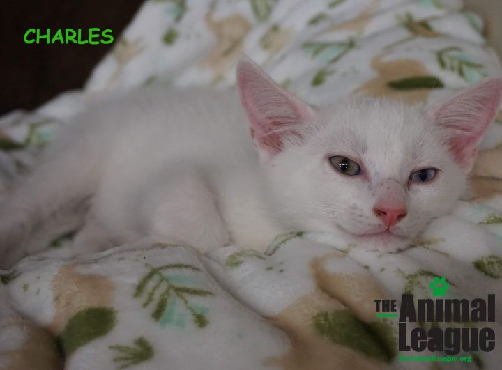 Charles, an adoptable Domestic Short Hair Mix in Clermont, FL