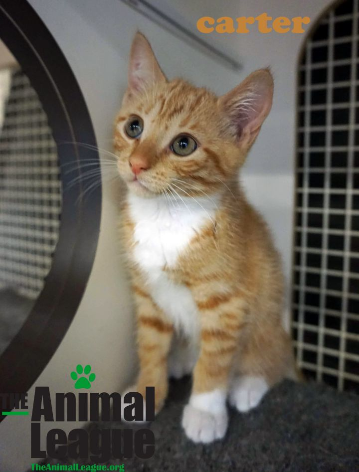 Carter, an adoptable Domestic Short Hair Mix in Clermont, FL