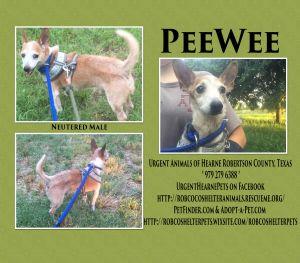 PeeWee Chihuahua Dog