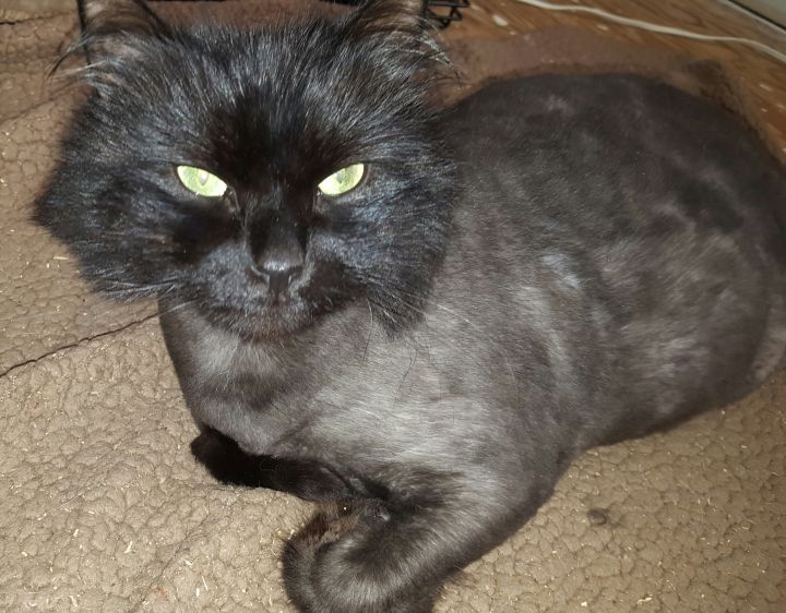 Jackson, an adopted Domestic Long Hair & Persian Mix in Syracuse, NY