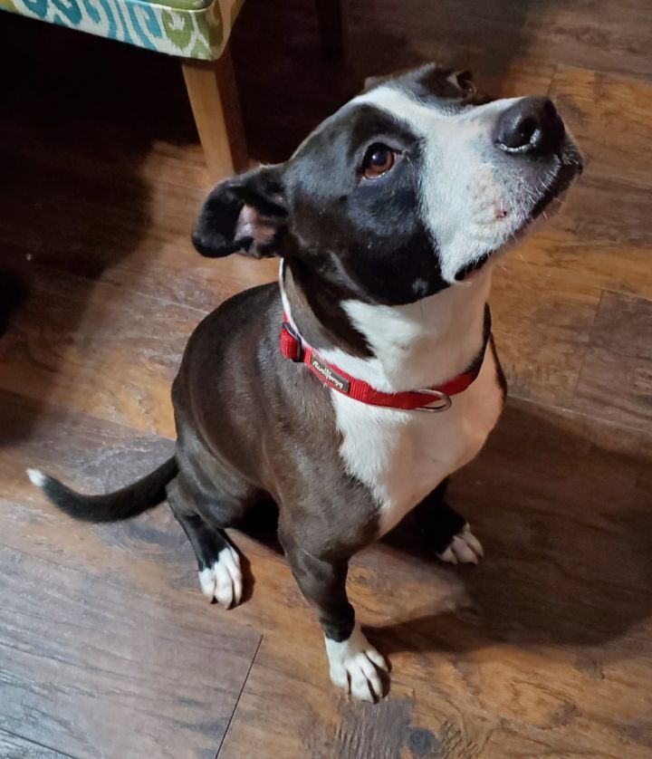 June Bug, an adoptable Terrier Mix in Dallas, TX