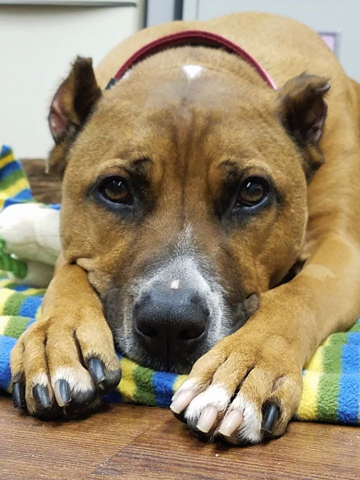 Willow, an adoptable Terrier & Boxer Mix in Lake Odessa, MI