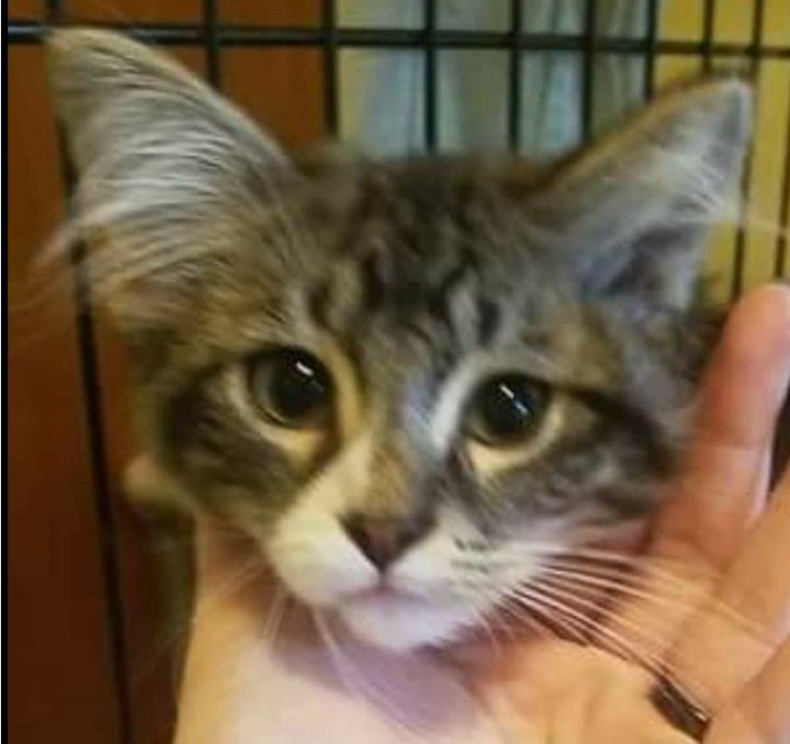 Sox, an adopted Domestic Medium Hair & Tabby Mix in Syracuse, NY