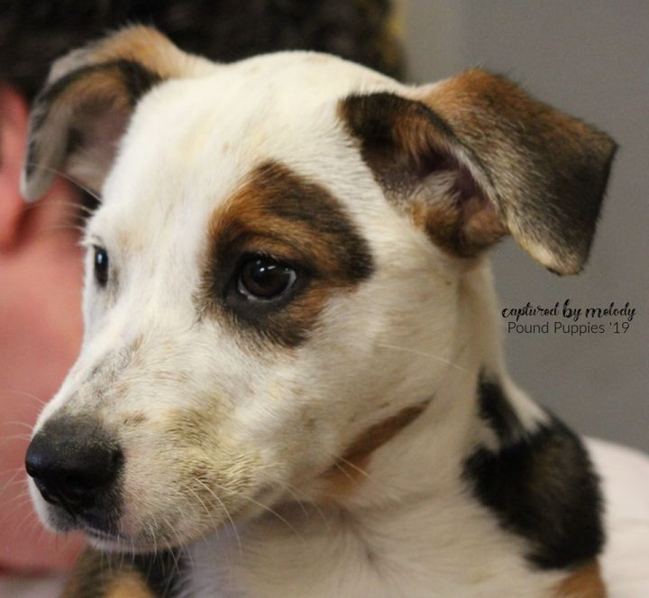 Rosie, an adopted Jack Russell Terrier Mix in Cynthiana, KY