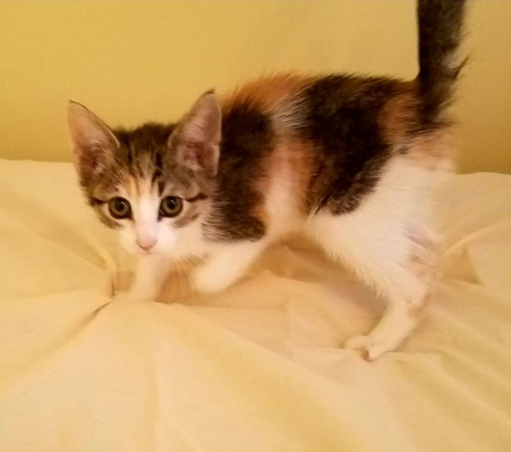 Sofie, an adopted Domestic Short Hair & Calico Mix in Syracuse, NY