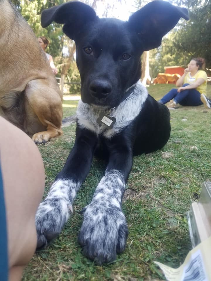 Olympus (Ollie), an adoptable Cattle Dog & English Pointer Mix in Silverdale, WA