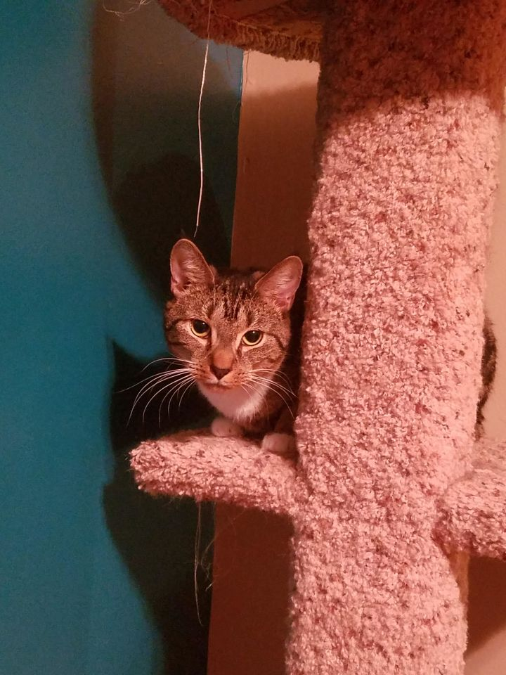 Fawn 2, an adoptable Domestic Short Hair in Plainville, MA