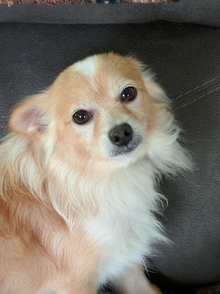 Dog For Adoption Cupid A Pomeranian Chihuahua Mix In Santa Fe