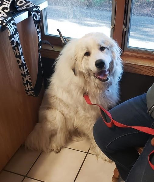 Minnie - Adoption Pending!, an adoptable Great Pyrenees in Neshkoro, WI