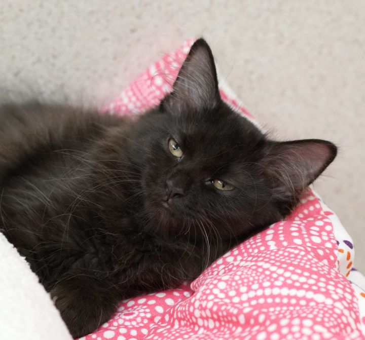 Amelia, an adopted Domestic Long Hair in Naperville, IL