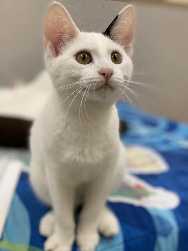 Darwin, an adoptable Domestic Short Hair in Naperville, IL