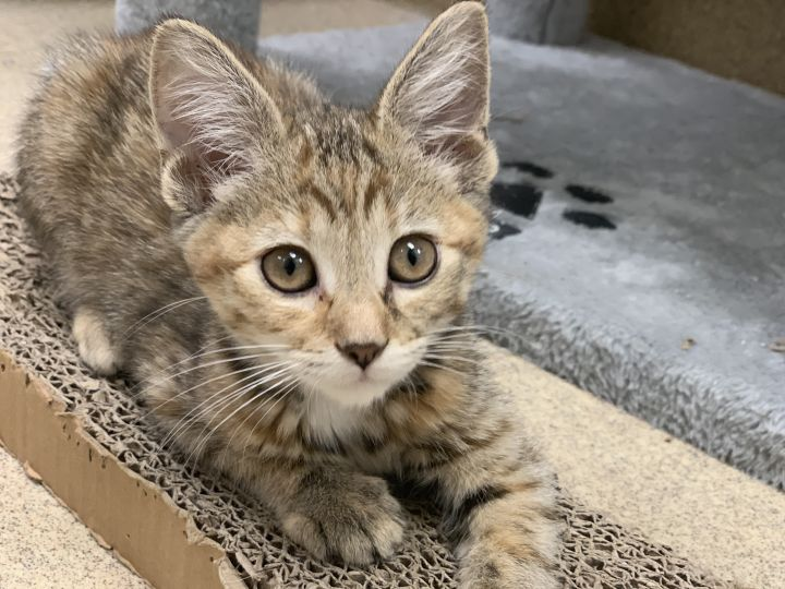 Goldilocks, an adoptable Domestic Short Hair in Naperville, IL