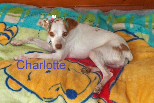 Charlotte and Becca, an adopted Jack Russell Terrier in Toronto, ON